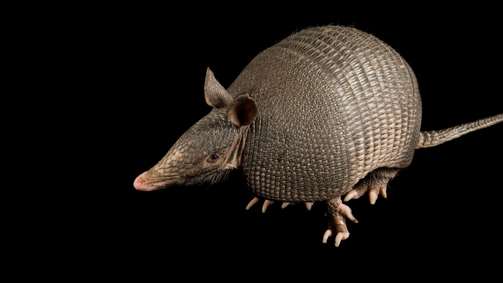 The majority of nine-banded armadillos (like the one shown here) in Brazil's western state of Pará ...