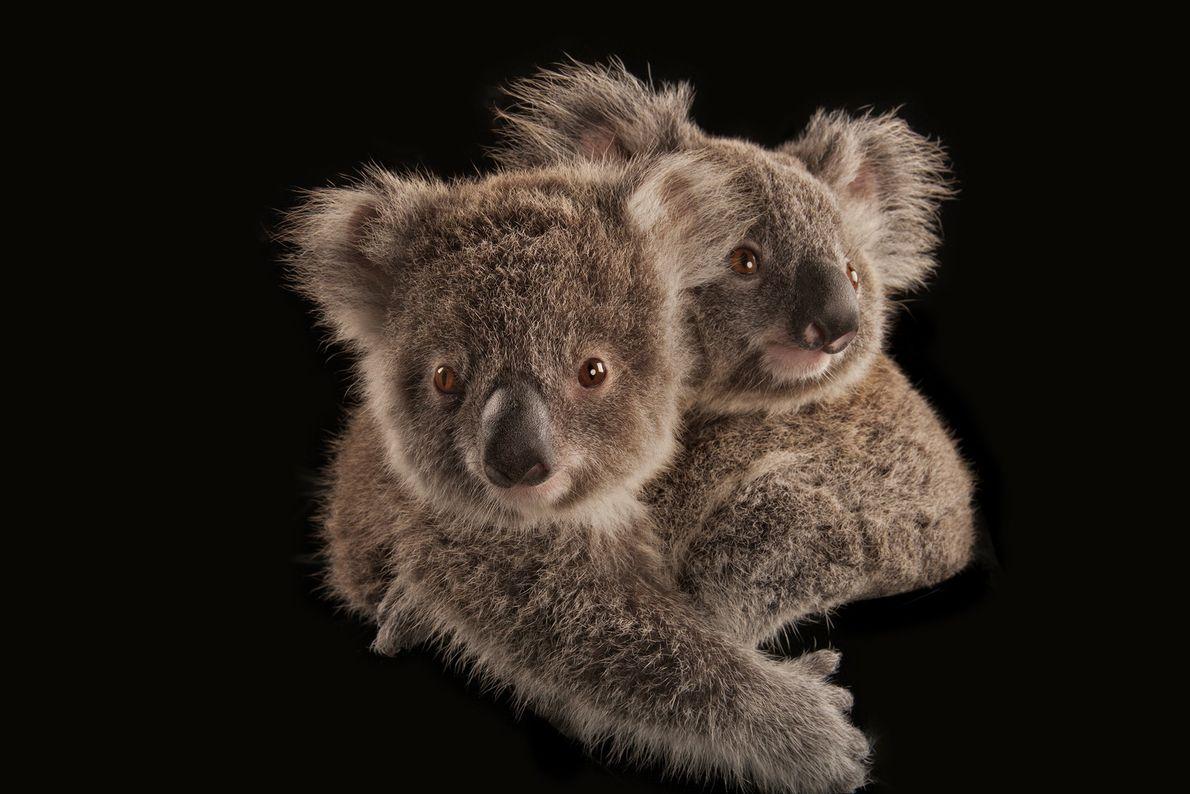 Koalas' habitat extends along Australia's eastern coast, where a large number of bushfires are burning. The ...