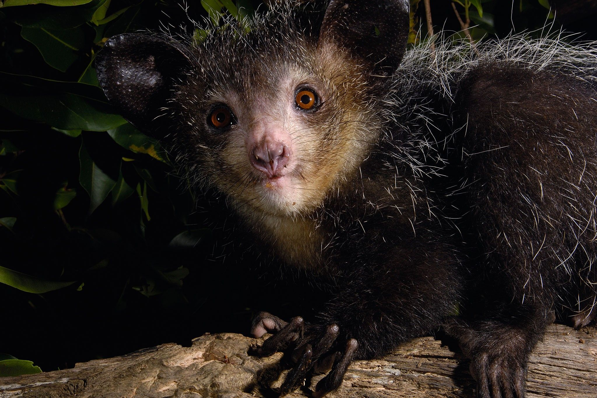 This bizarre primate has a newly discovered digit | National Geographic