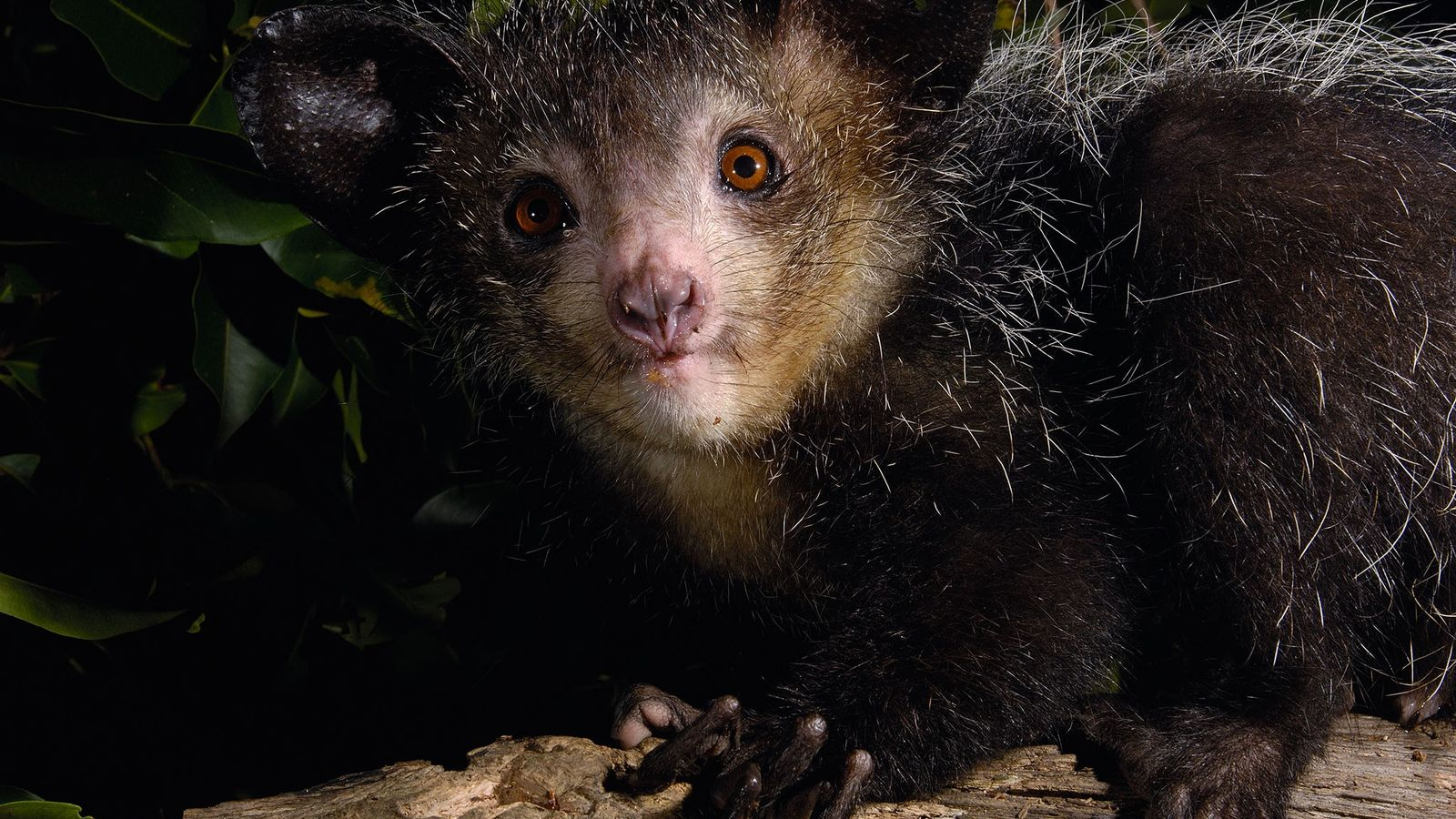 Aye-ayes have a mishmash of peculiar features, such as huge ears, bushy tails, rodent-like teeth, and ...