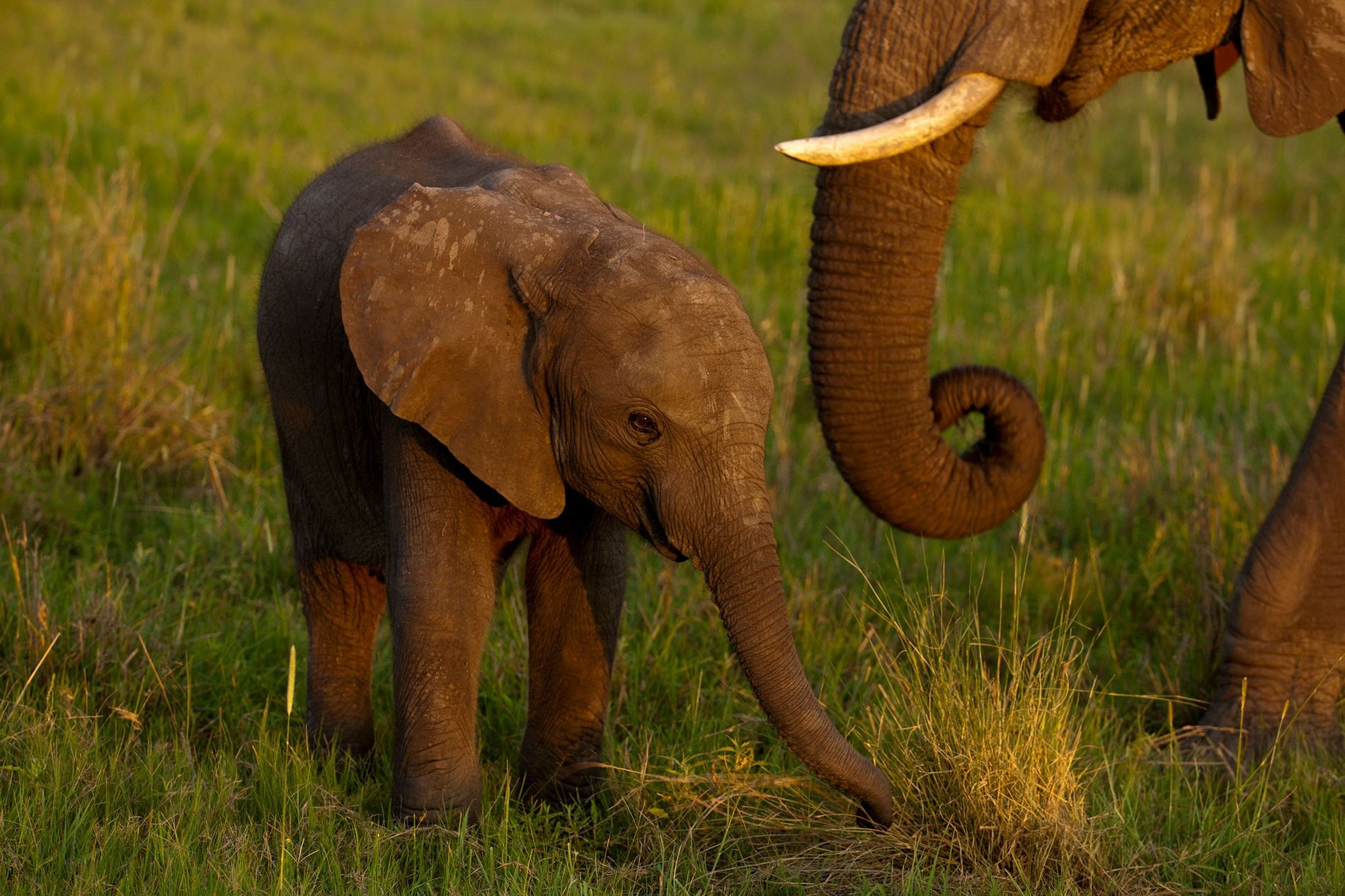To address what it says is an elephant overpopulation problem and make some money, Zimbabwe has sold young elephants to China in recent years.
