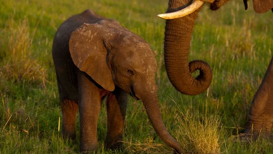 To address what it says is an elephant overpopulation problem and make some money, Zimbabwe has ...