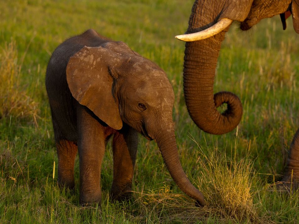 Wild African elephants can no longer be caught and sent to zoos