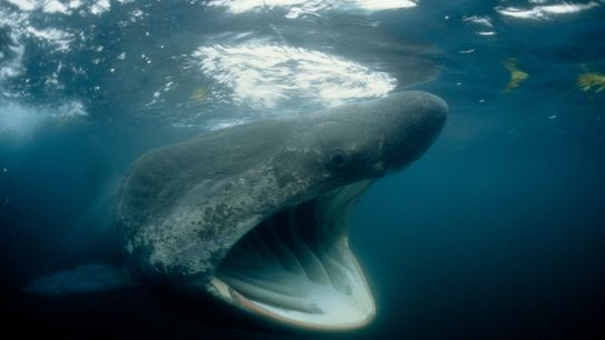 Basking sharks may look ominous, but their open mouth serves to filter zooplankton and other small ...