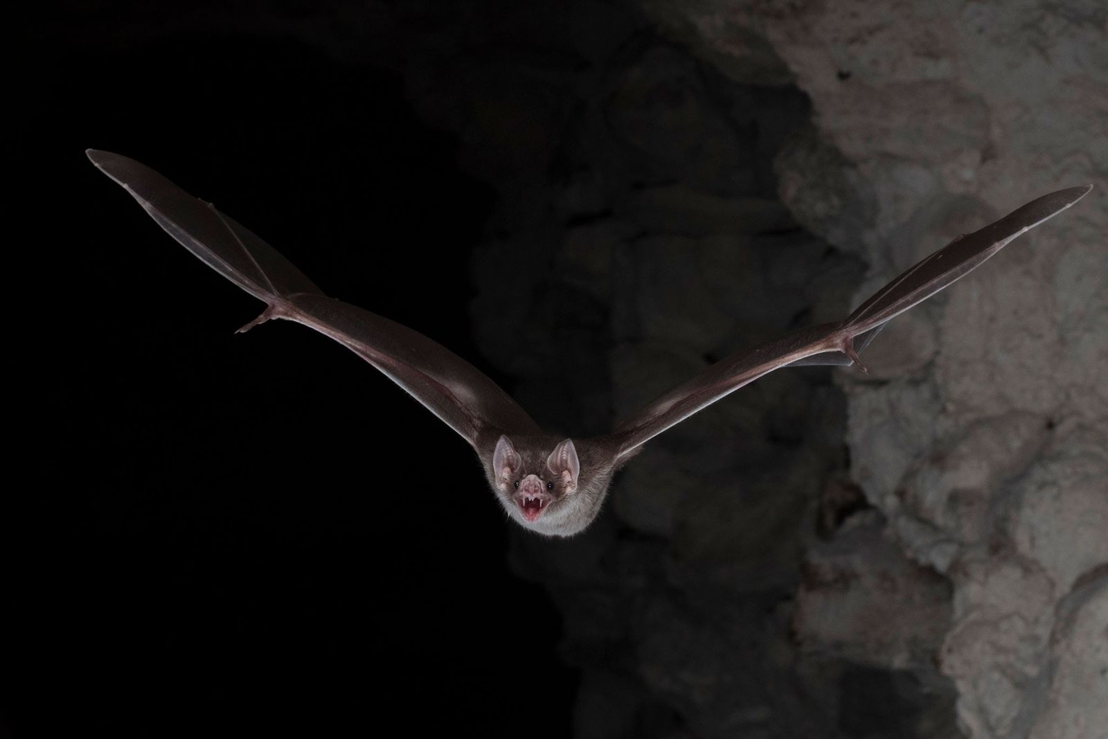 Vampire bats are equipped with vein sensors that allow them to easily find their prey.