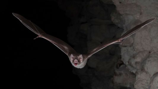 Vampire Bats Survive by Only Eating Blood—Now We Know How