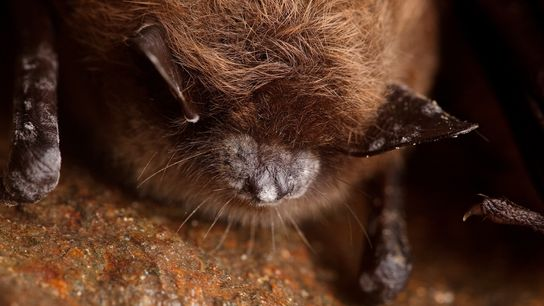 Little brown bats are one of the three species most affected by White Nose Syndrome, which ...