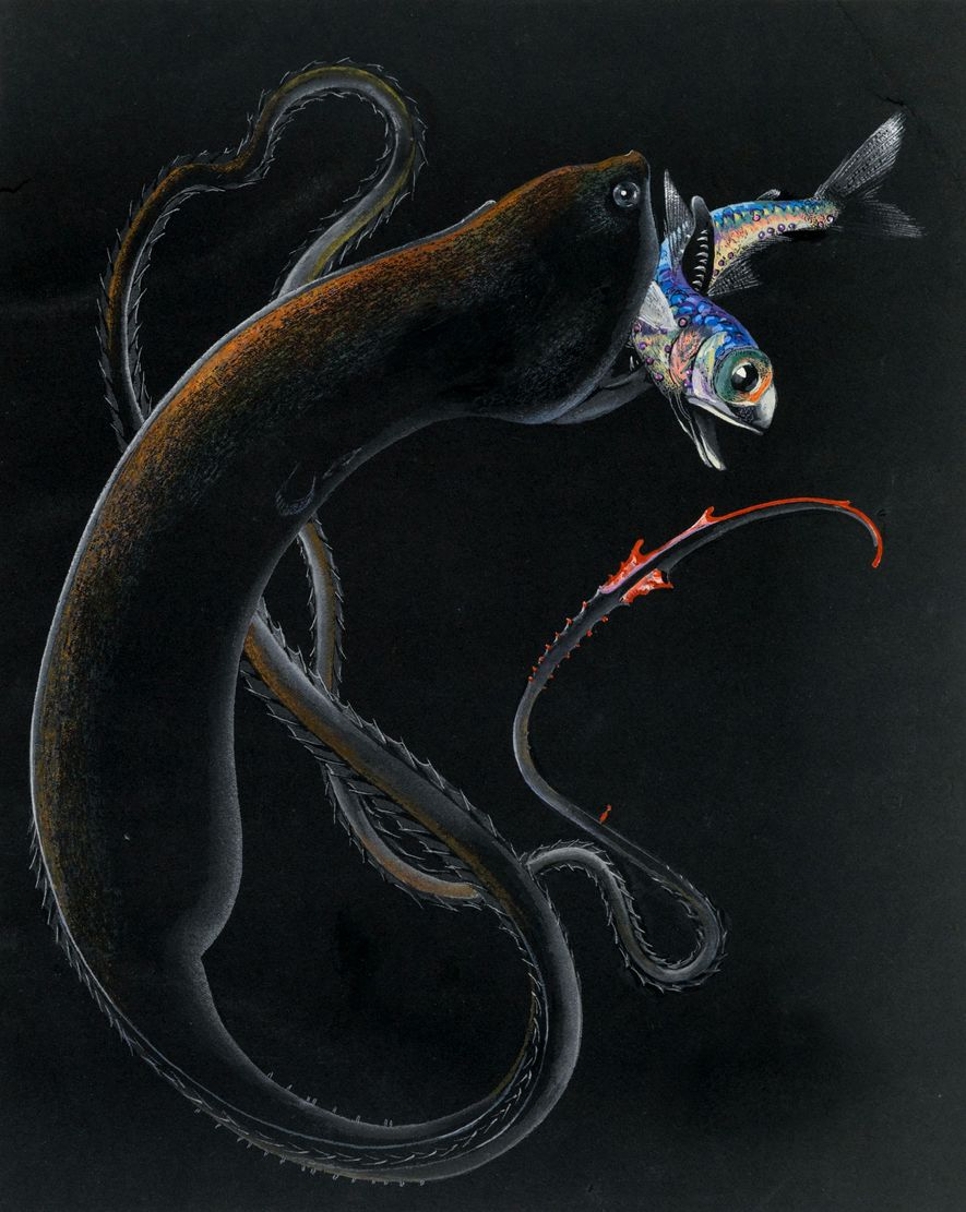 Else Bostelmann brought previously unseen deep-sea creatures to life with her drawings. At left, a gulper ...
