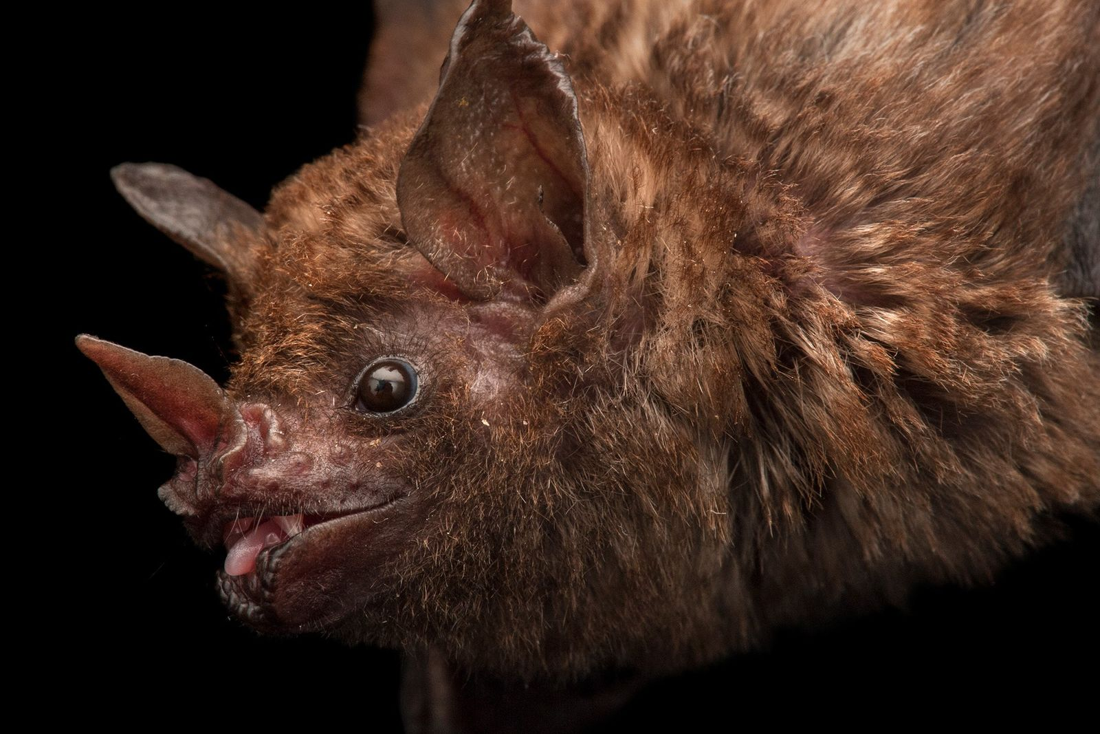 Bats, such as this Seba's short-tailed fruit bat, face various threats in Bolivia, including demand for ...