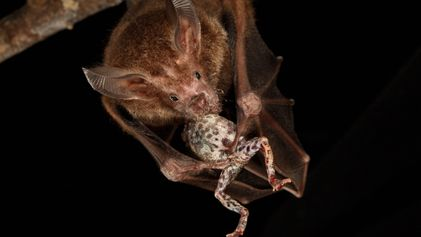 This bat tunes into raucous frog serenades to locate dinner