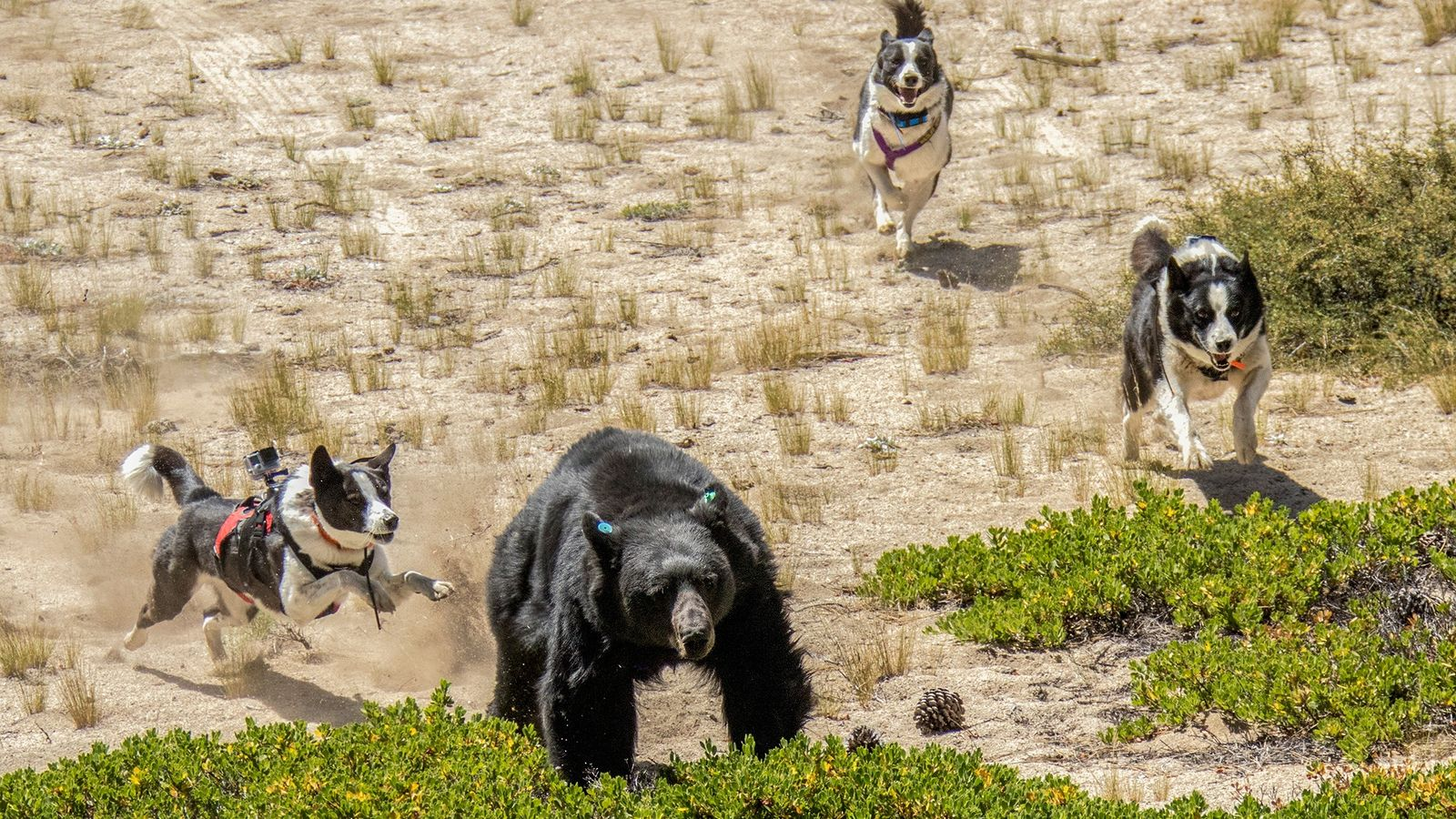 "Orca (left), Dazzle (center), and Rooster—""bear dogs"" with the Nevada Department of Wildlife—drive away a black ..."
