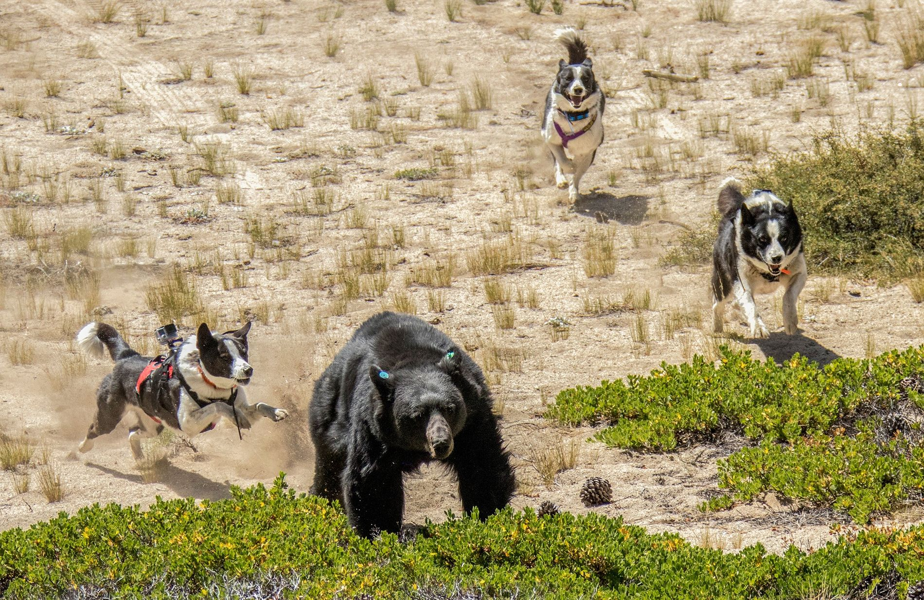 """Orca (left), Dazzle (center), and Rooster—""""bear dogs"""" with the Nevada Department of Wildlife—drive away a black ..."""