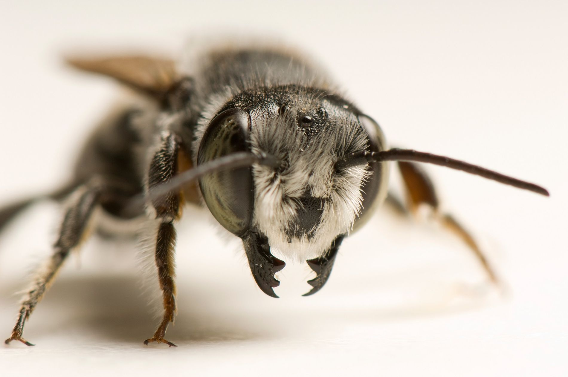Portrait of a leaf cutter bee, the species believed to be using plastic for construction material ...