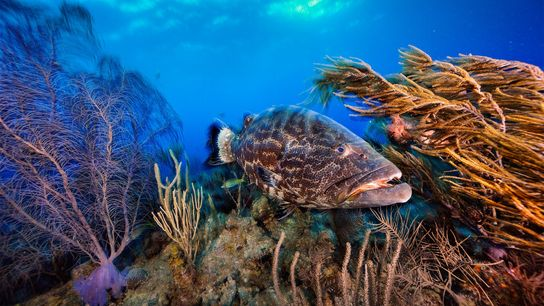 A black grouper patrols a coral garden in Belize. The country is taking new steps to ...