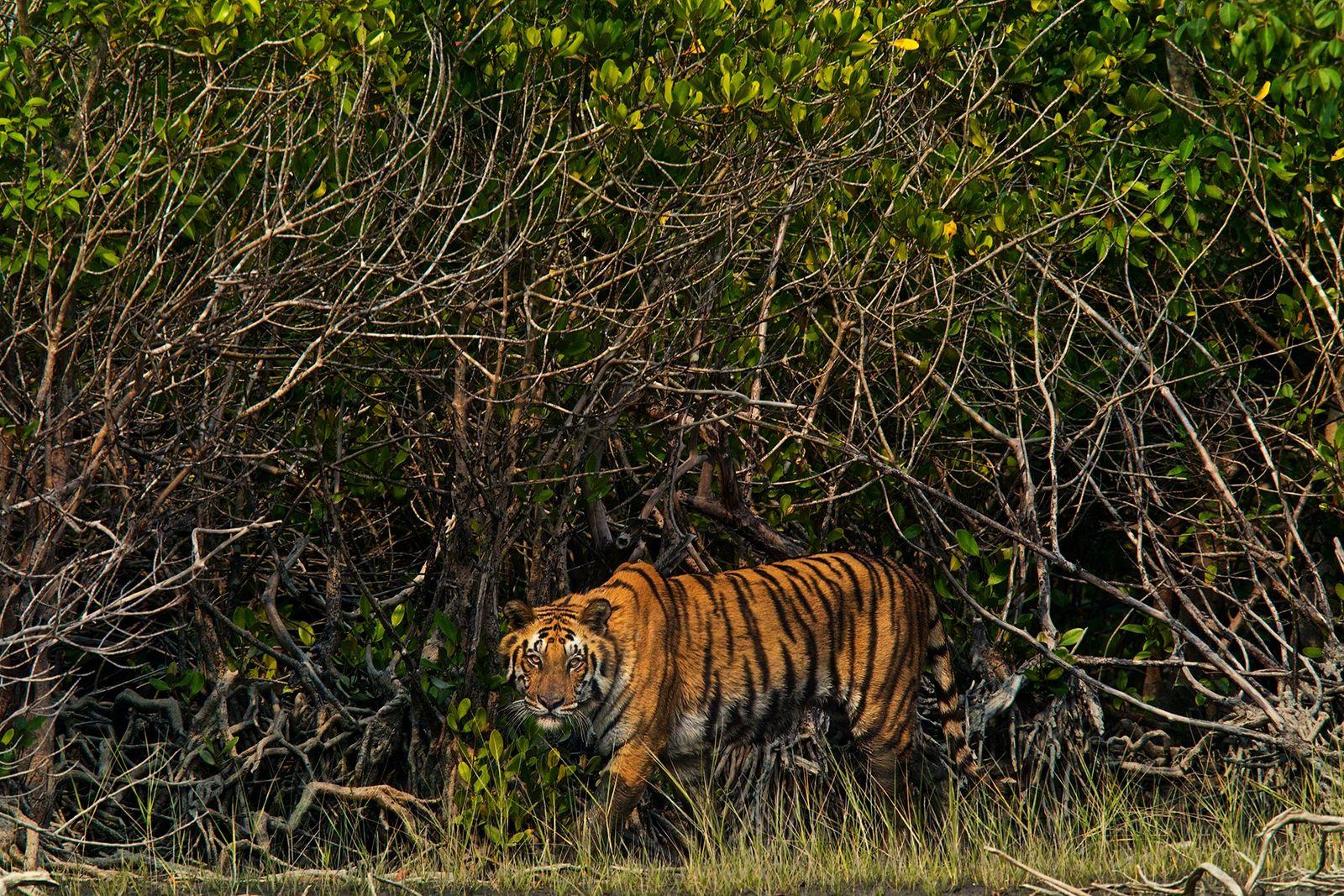 Pirates are killing Bengal tigers