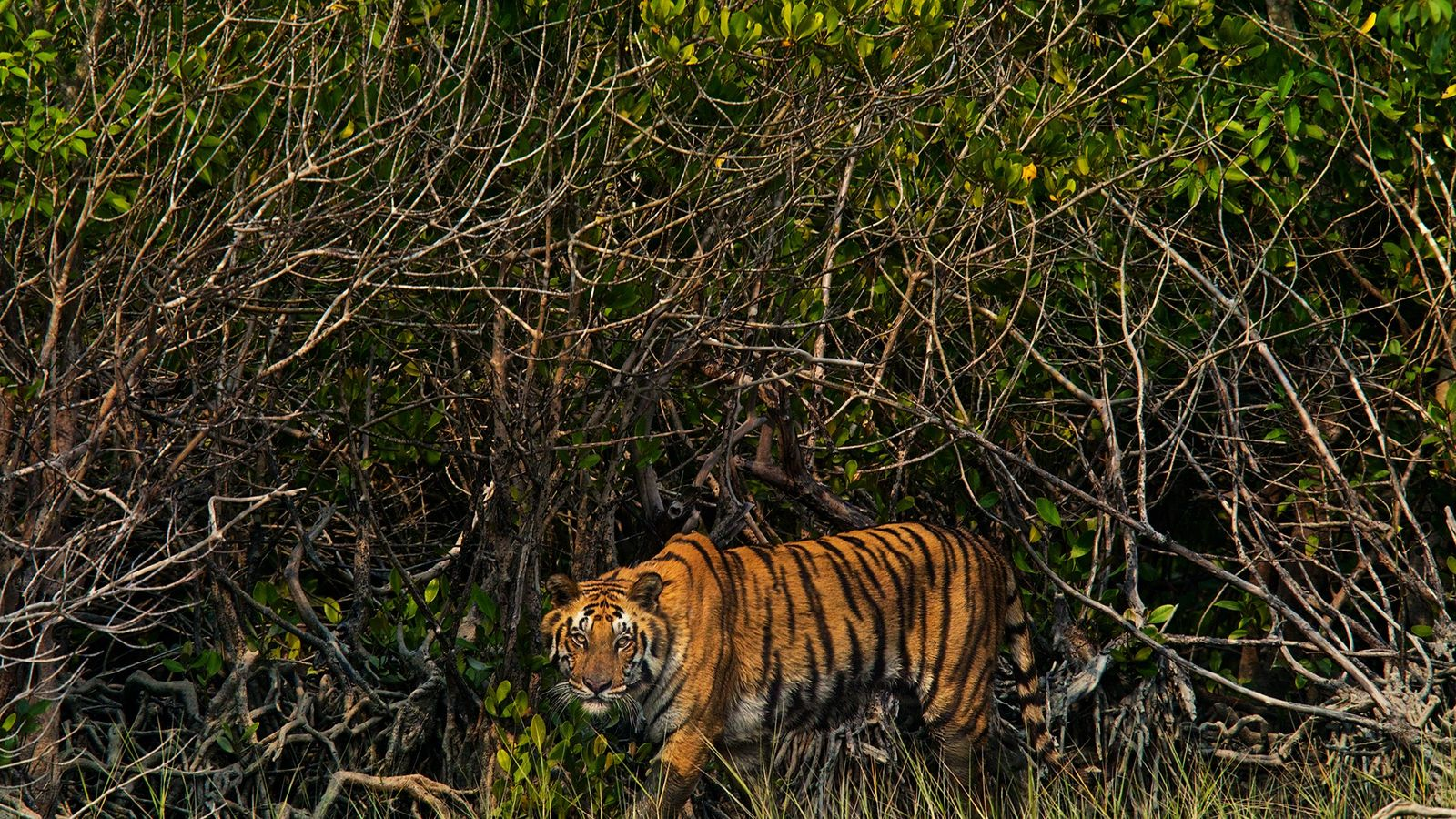 The Sundarbans region, a massive wetland that extends into Bangladesh and India, was once avoided by ...