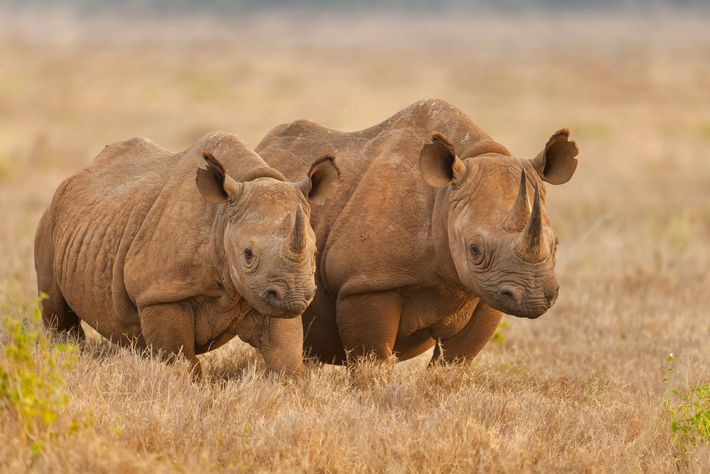 Black rhinoceroses stand in the savanna in Kenya's Lewa Wildlife Conservancy. There are fewer than 6,000 ...