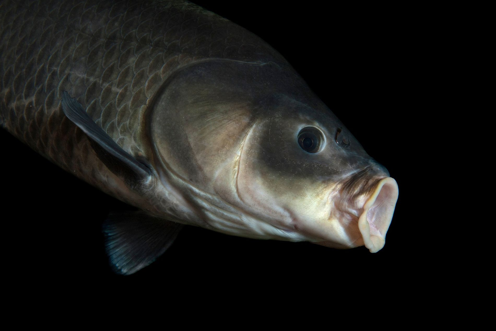 This bigmouth buffalo (Ictiobus cyprinellus) was photographed at Gavins Point National Fish Hatchery and Aquarium, in ...