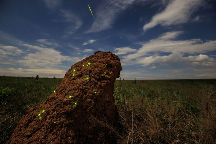 Bioluminescent firefly larvae glow to attract the termites they'll feast on. Brazil's Emas National Park is ...
