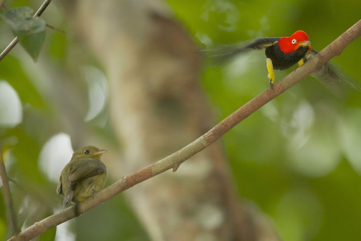 A male red-capped manakin performs his signature 'moonwalk' dance to a female.