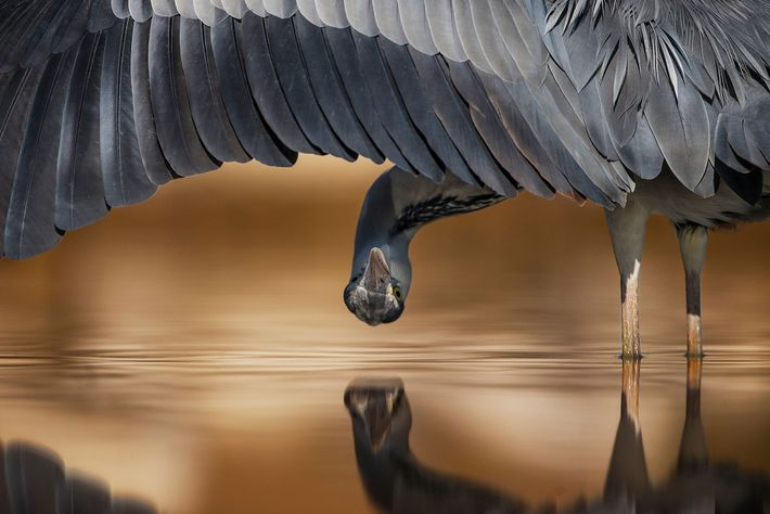 This shot of a gray heron in Hungary won a silver award in the attention to ...