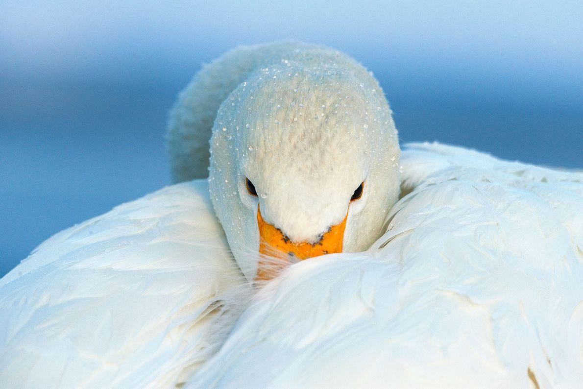 Whooper swan. Hokkaido, Japan