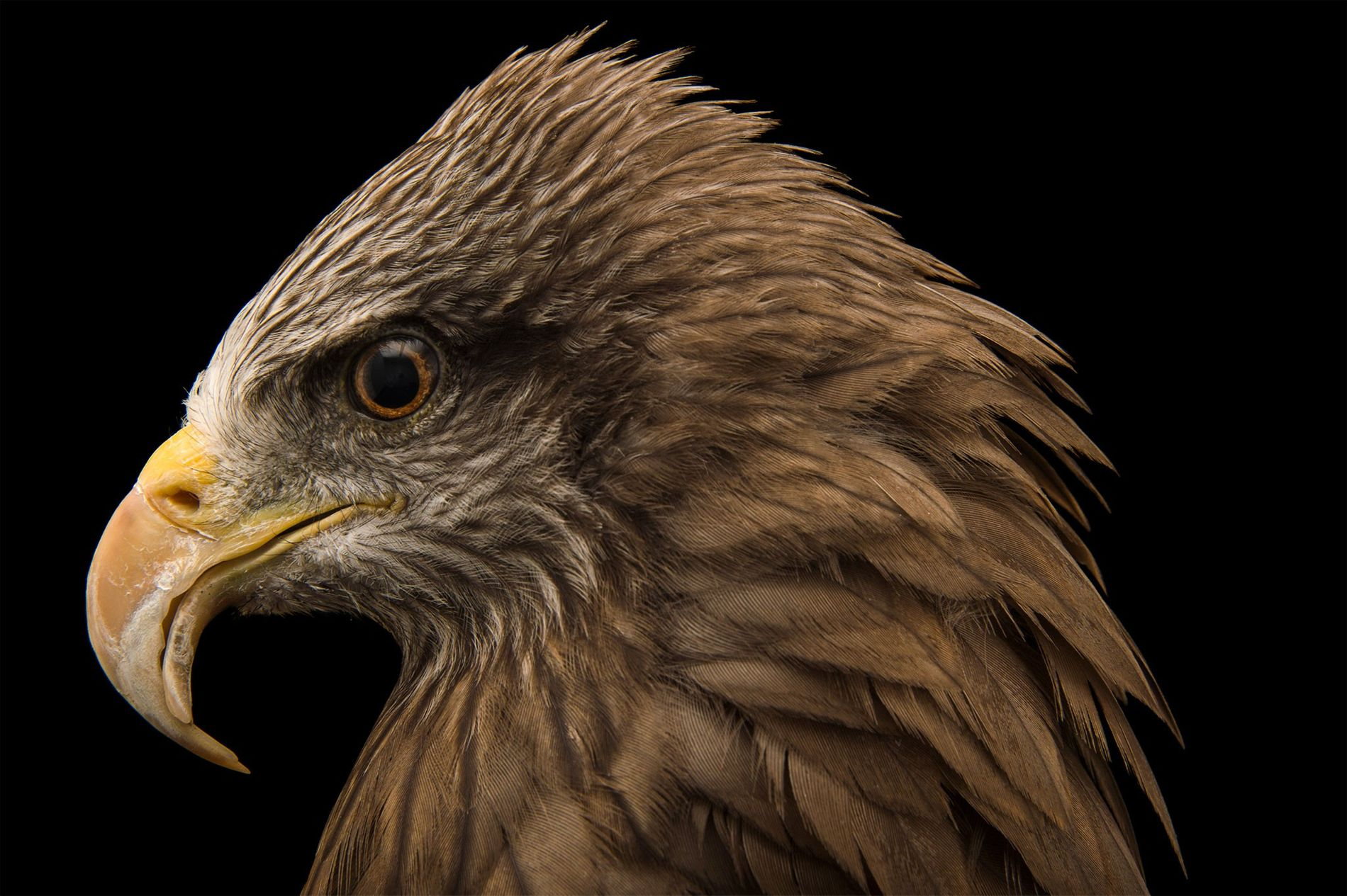 The black kite (pictured, an animal at Madagascar's Tsimbazaza Zoo) is one of the birds thought ...