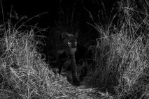An ultra-rare black leopard walks through Laikipia Wilderness Camp in central Kenya in 2018.