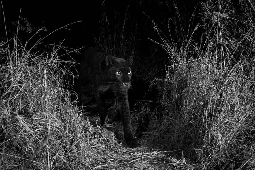 African black leopard seen for first time in 100 years