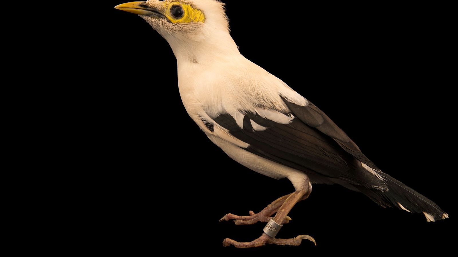 The three species colloquially called black-winged mynahs are critically endangered, with the illegal trade for pet ...