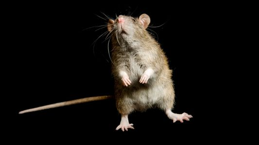 Maybe Rats Aren't to Blame for the Black Death