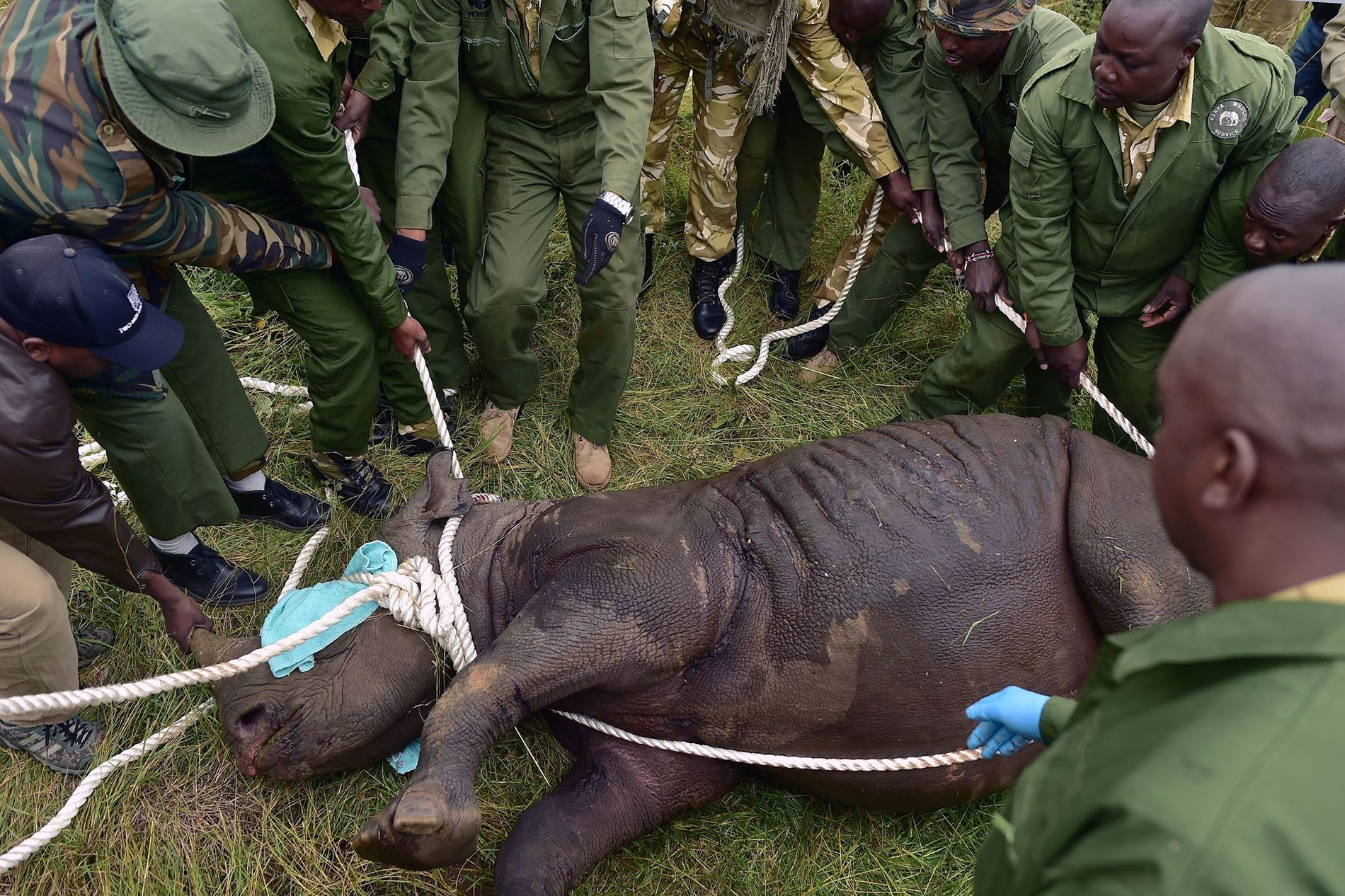 Kenya Wildlife Service officials prepare to load a sedated black rhino into a transport crate on ...