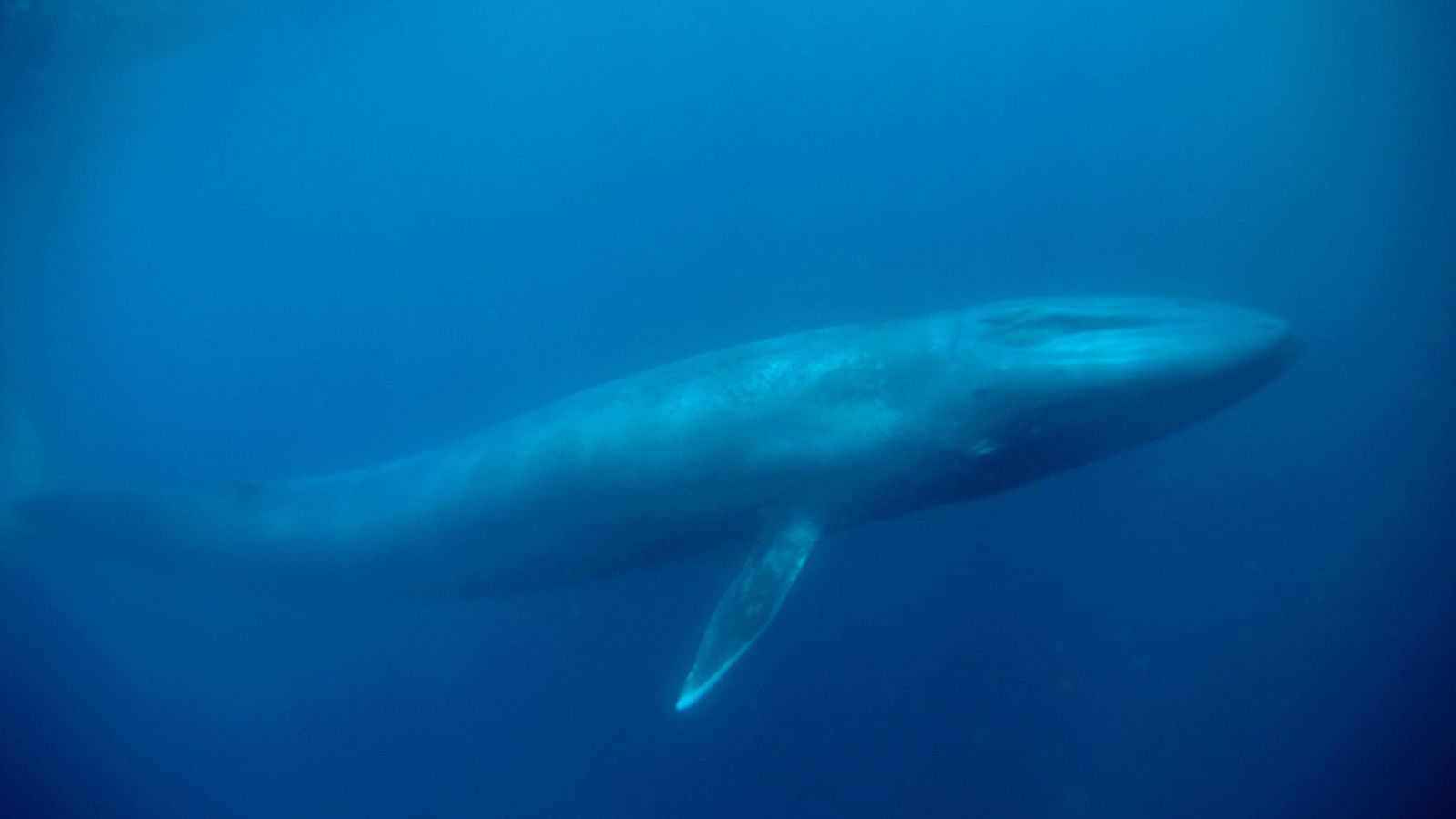 Blue whales are highly endangered and poorly understood, but scientists hope to decipher more about them ...
