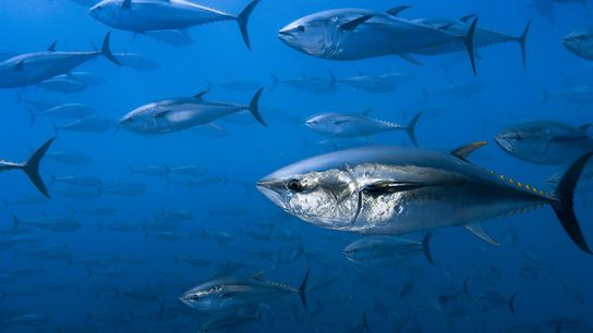 European law enforcement officials have uncovered a massive Atlantic bluefin tuna trafficking operation.