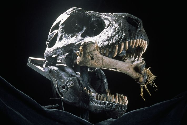 A mechanical T. rex cracks bone to show how it may have eaten prey.