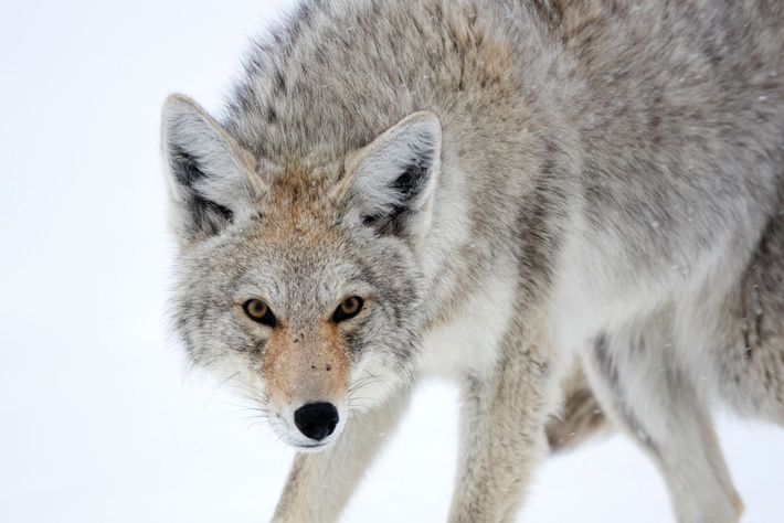 A coyote, Canis latrans, takes on a weary stance.