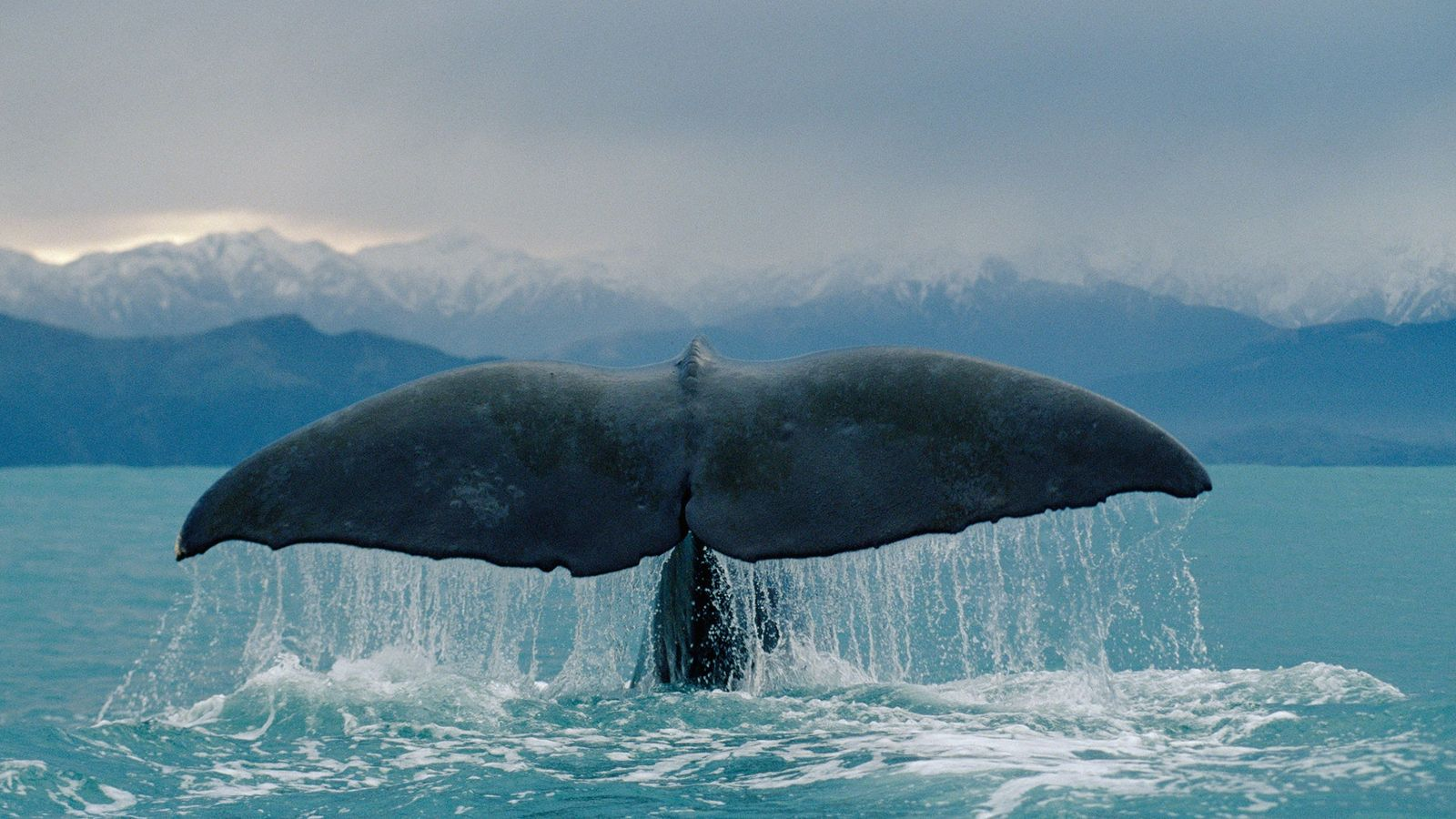 Sperm whales, the largest of the echolocating whales, have powerful sonar ability, says a new book ...