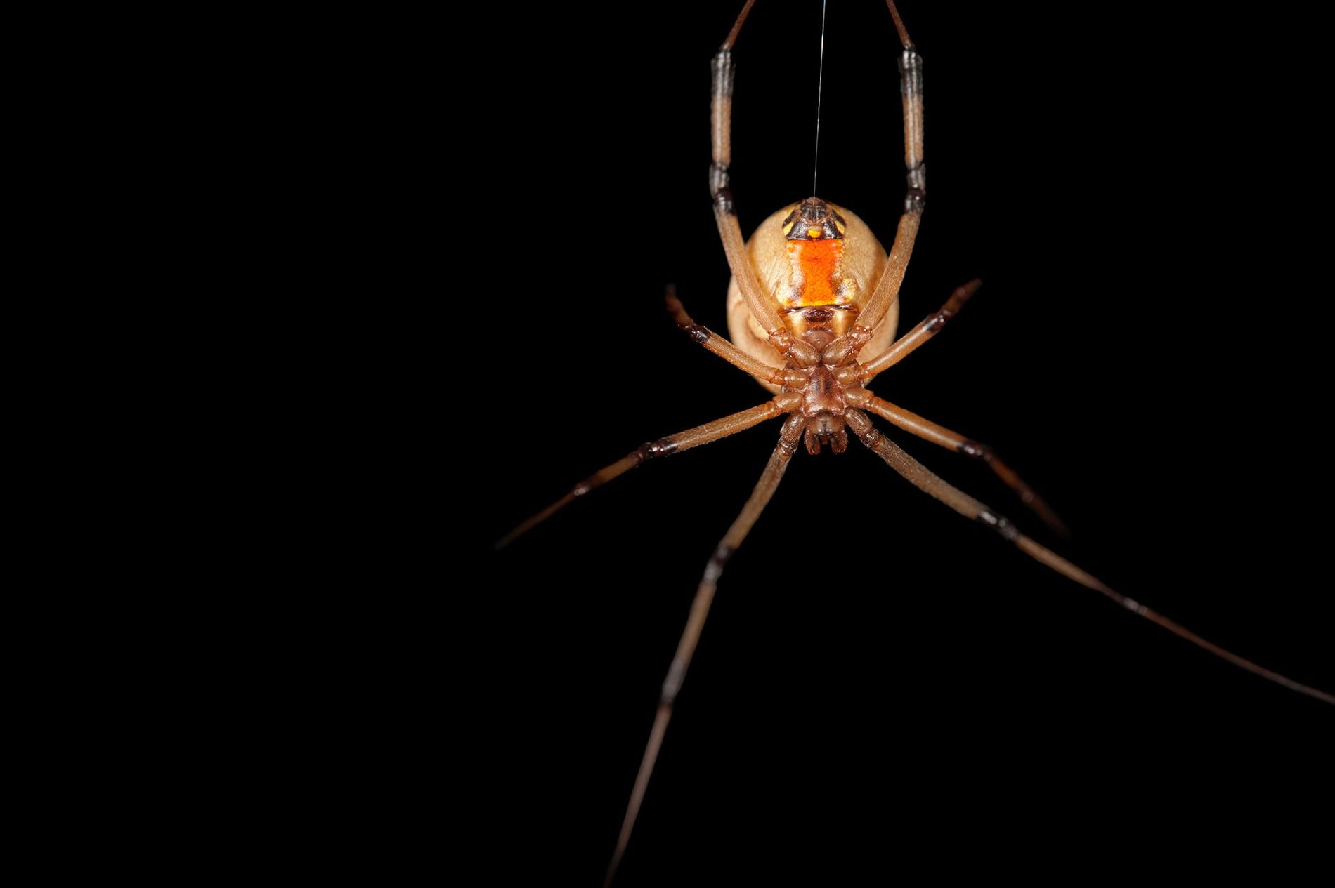 A female brown widow spider,Latrodectus geometricus, hangs on her web at the Audubon Nature Institute in ...