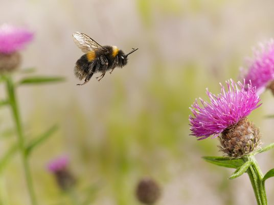 Bumblebees bite plants to make them flower early, surprising scientists