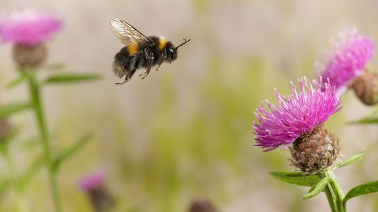 A buff-tailed bumblebee flies among flowers in England. Many bumblebee species are declining due to climate ...