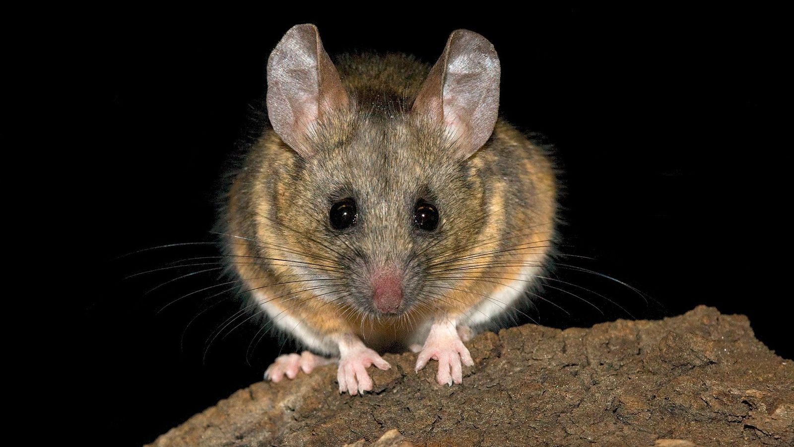 California mice, 'Peromyscus californicus', have a fascinating range of vocalisations, which have allowed researchers to interrogate ...