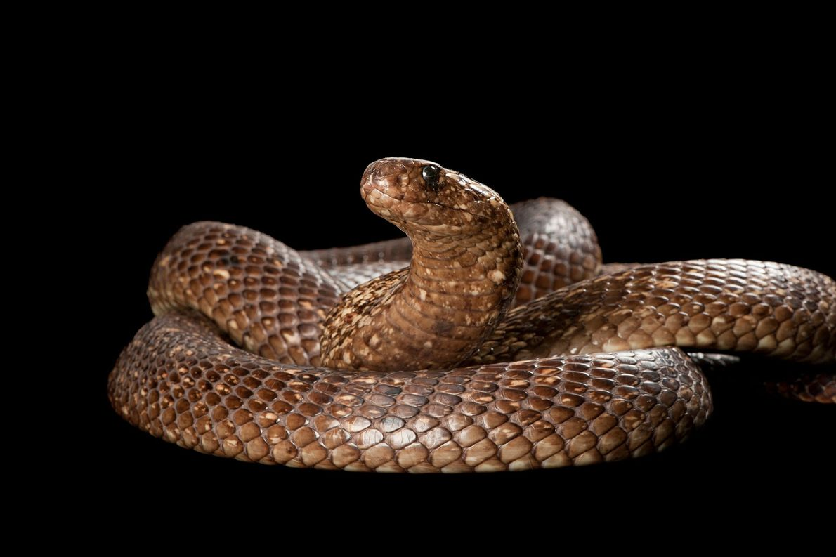 Cannibal Cobras: Male Snakes Eat Each Other