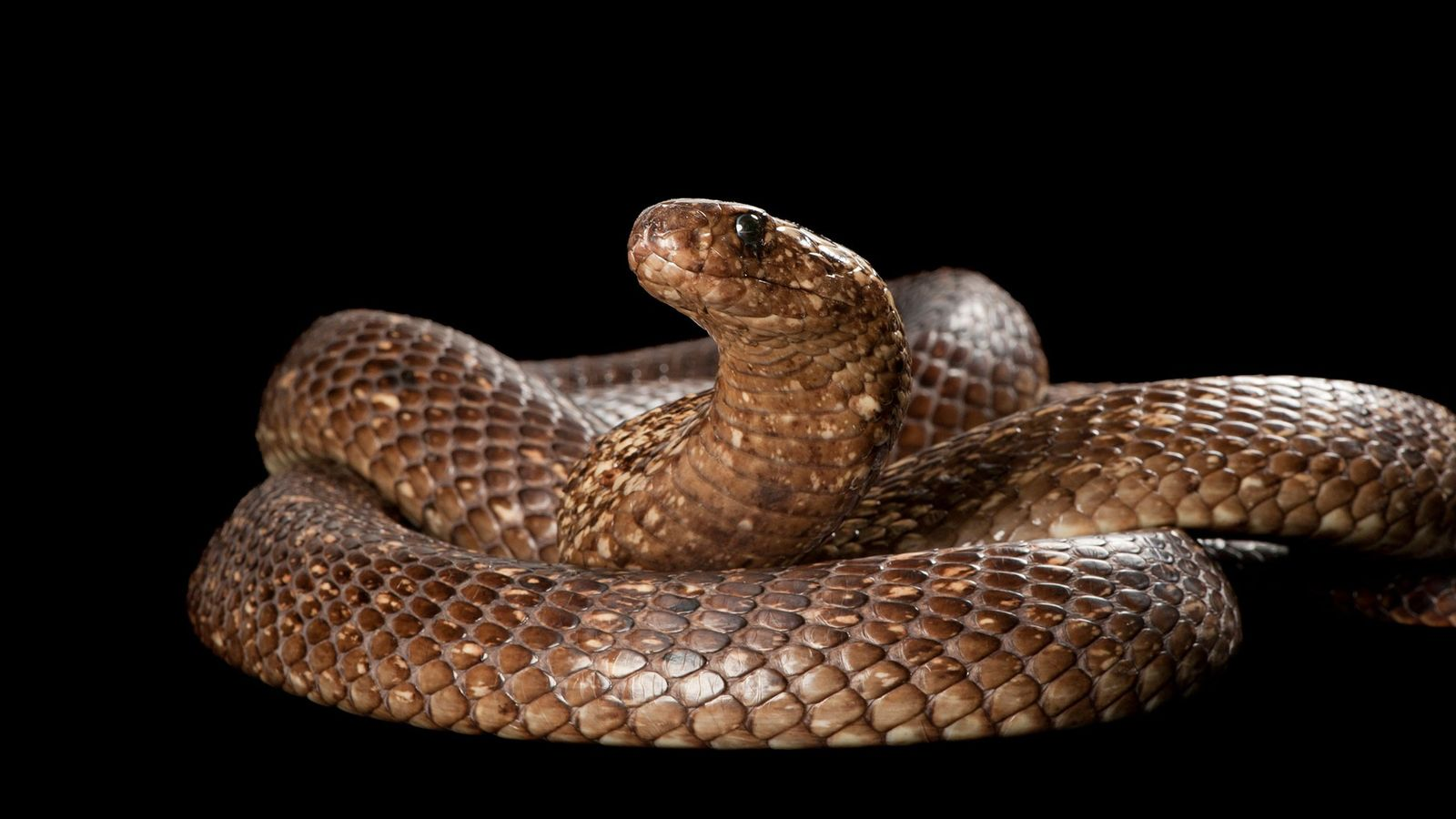 Cape cobras ('Naja nivea') grow up to five feet in length, have potent venom, and have ...