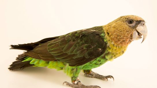 A captive Cape parrot poses for a portrait at the Loro Parque Fundación in the Canary ...
