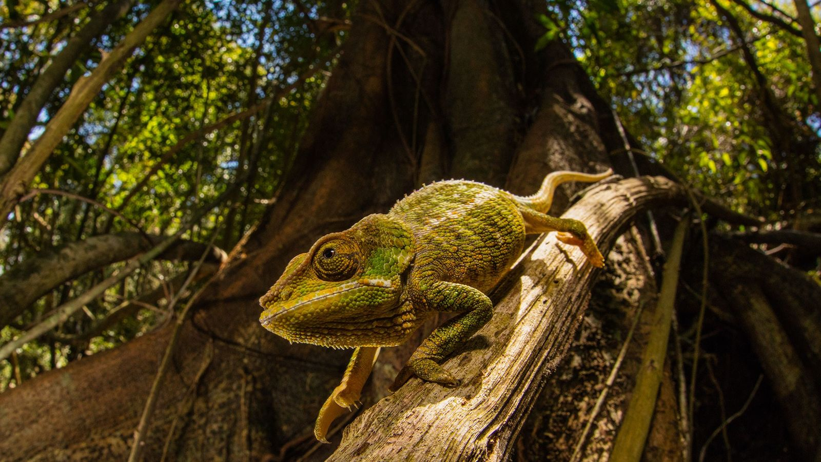Chameleons can change skin colour based on their surroundings. A new 'smart' skin, designed to use ...