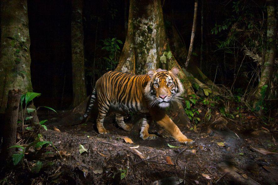 The Sumatran tiger (Panthera tigris sumatrae) is a critically endangered species, threatened by habitat loss and ...