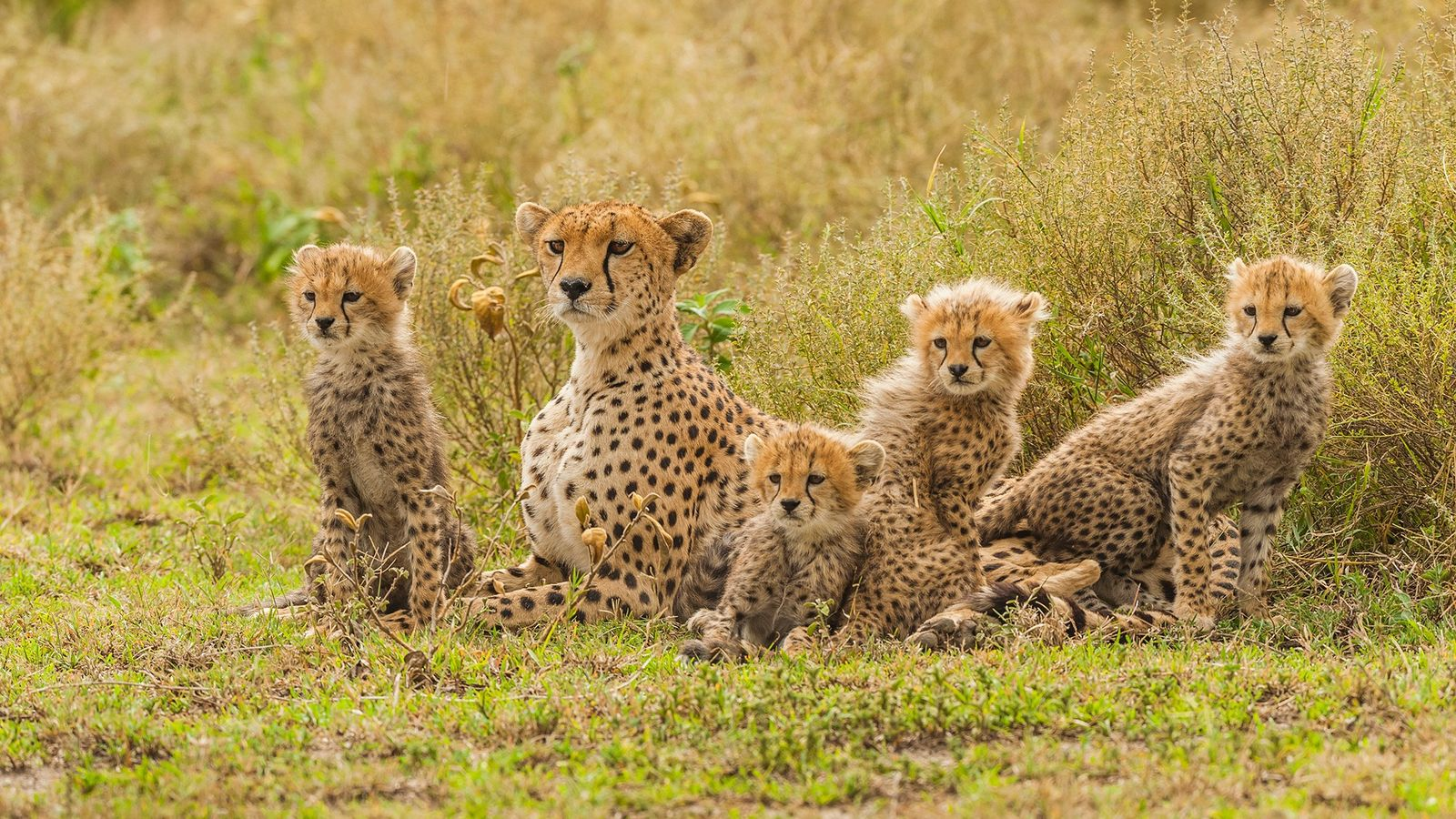 Cheetahs, seen here in Tanzania, are coveted as show pets in Saudi Arabia and the United ...