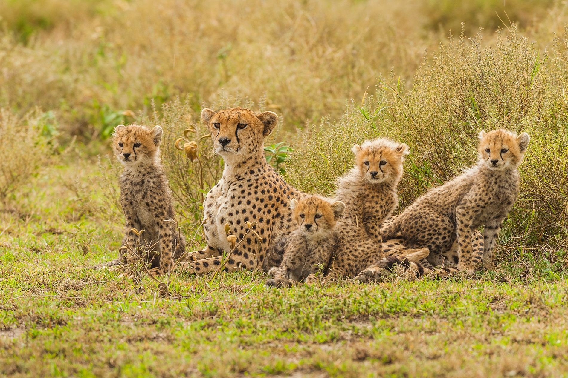 The fightback against the illegal cheetah trade