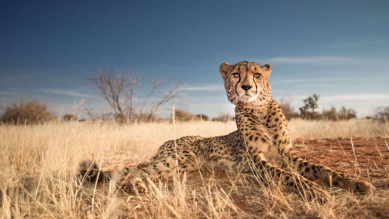 Stunning Pictures of Cheetahs in Action