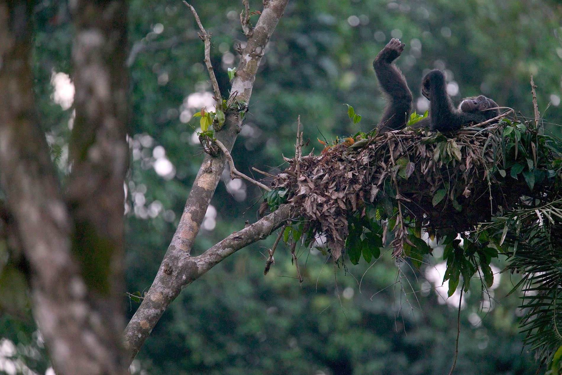 A chimpanzee relaxes in its nest in Nigeria's Cross River State.